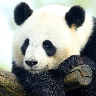 Qui est Huan Huan ? - Huan Huan - Panda géant - ZooParc de Beauval