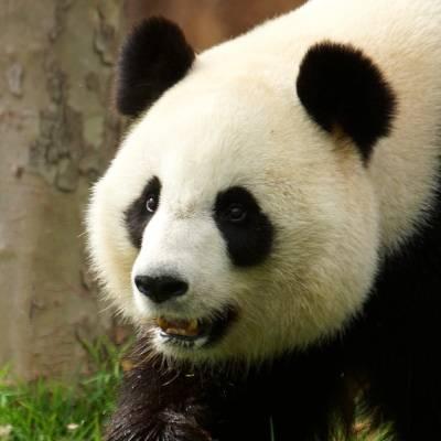 Huan Huan, femelle panda - ZooParc de Beauval