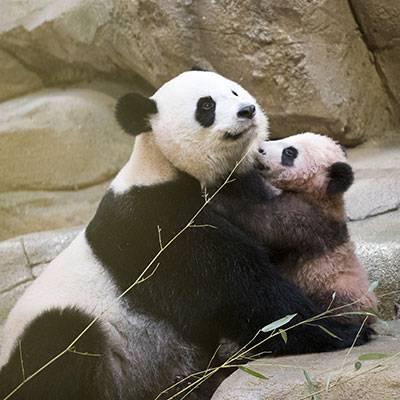 Huan Huan maman - Huan Huan - Panda géant - ZooParc de Beauval