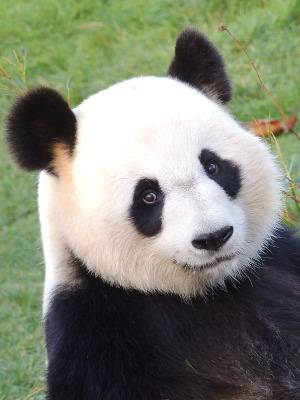 Huan Huan - photo d'identité - ZooParc de Beauval