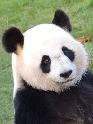 Huan Huan - photo d'identité - ZooParc de Beauval