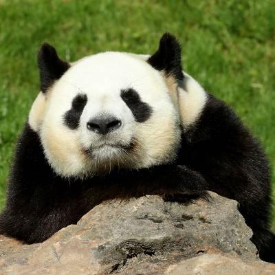 Les spécificités de notre mâle panda - Yuan Zi - Panda géant - ZooParc de Beauval