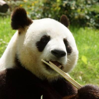 Une journée type de Monsieur Yuan Zi - Yuan Zi - Panda géant - ZooParc de Beauval