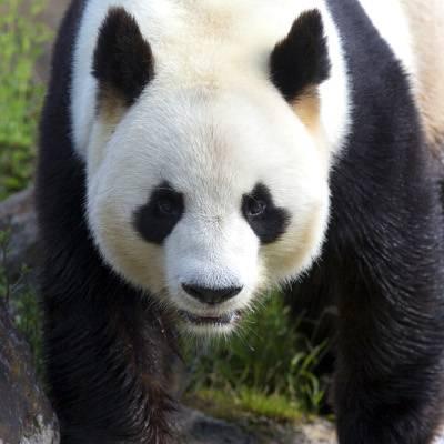 Yuan Zi, mâle panda - ZooParc de Beauval