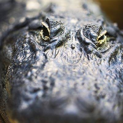 Alligator - ZooParc de Beauval