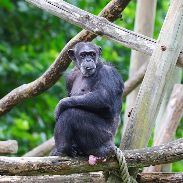 Chimpanzé - ZooParc de Beauval