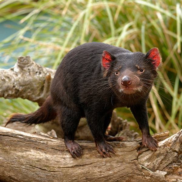 Diables de Tasmanie - ZooParc de Beauval