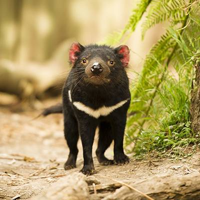 Diable de Tasmanie - ZooParc de Beauval