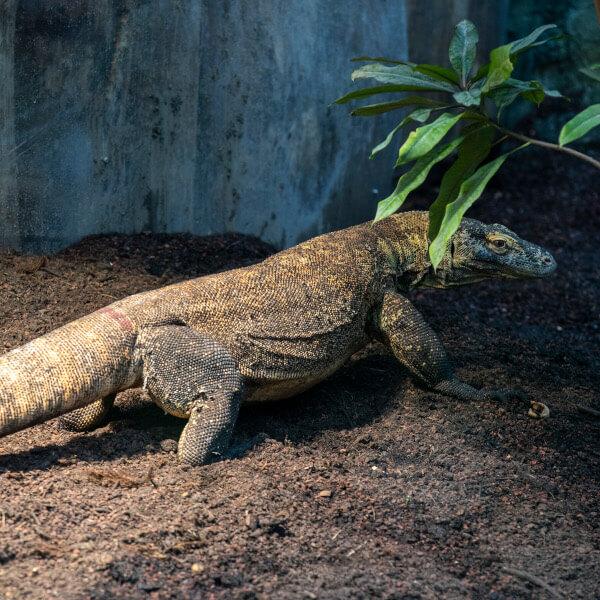 Dragon de Komodo - ZooParc de Beauval
