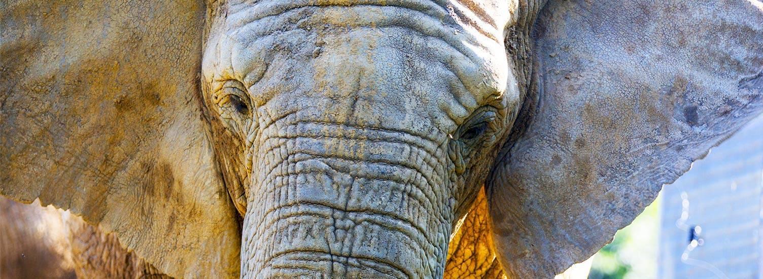 Éléphant - ZooParc de Beauval
