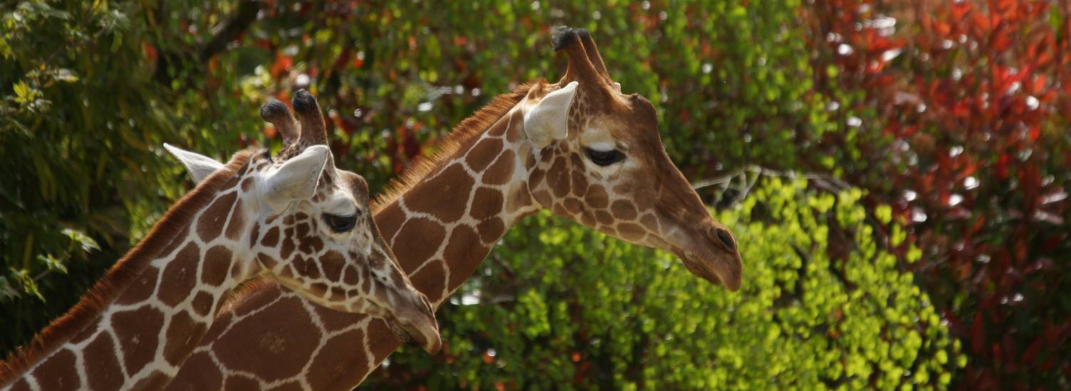 Girafe - ZooParc de Beauval
