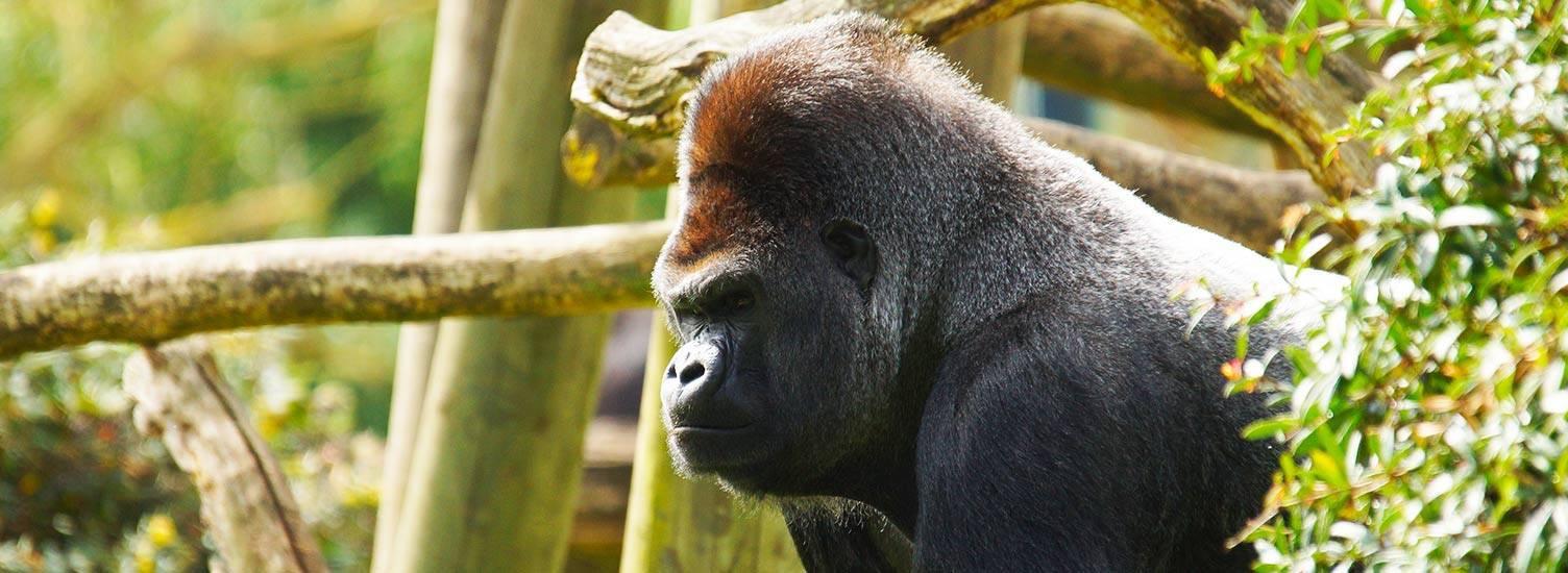 Gorille - ZooParc de Beauval