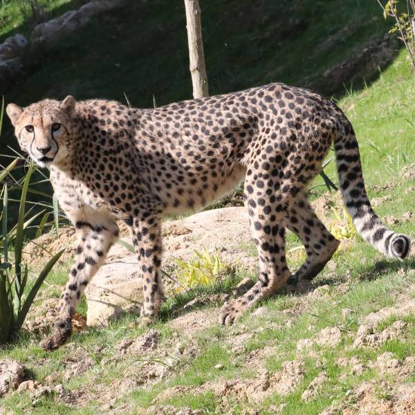 Guépards - ZooParc de Beauval
