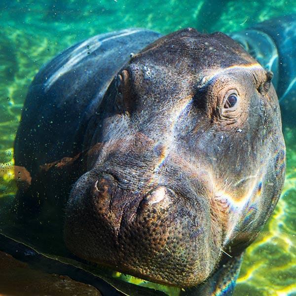 Hipppopotame - ZooParc de Beauval