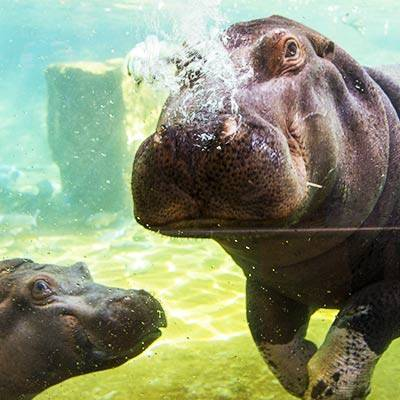 Hippopotame - ZooParc de Beauval