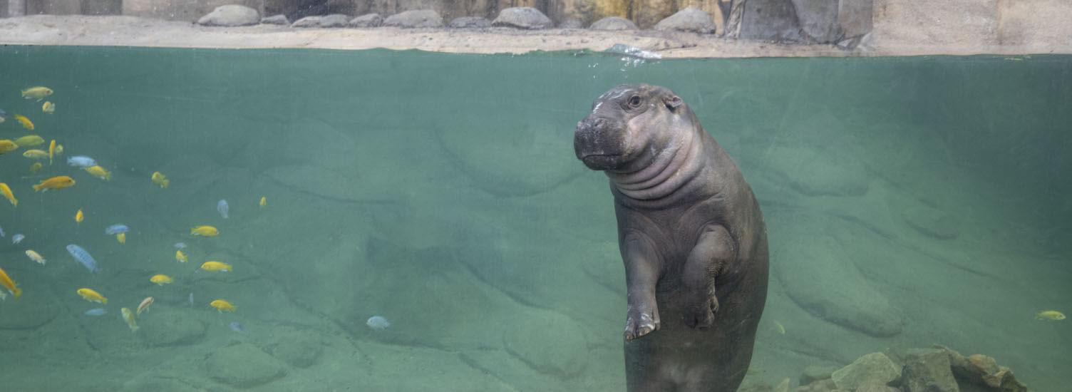 Hippopotame pygmée - ZooParc de Beauval