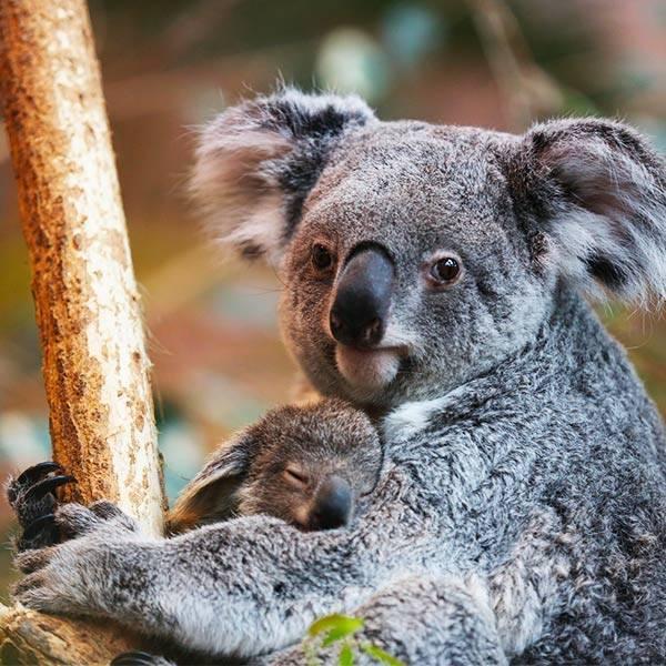 koala les animaux zooparc de beauval. Black Bedroom Furniture Sets. Home Design Ideas