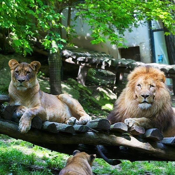 Lion d'Afrique - ZooParc de Beauval