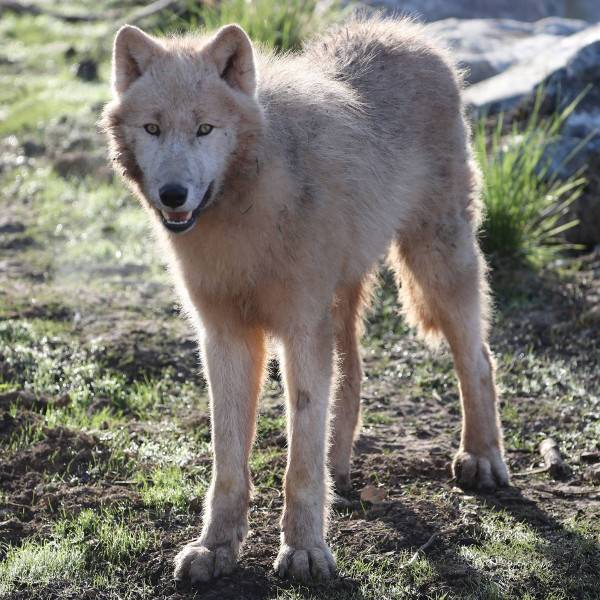 Loups Arctiques - ZooParc de Beauval