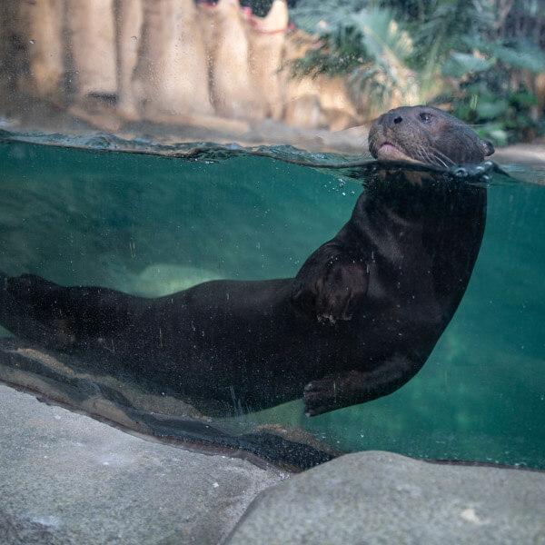 Loutre géante - ZooParc de Beauval