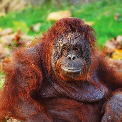 Orang outan - ZooParc de Beauval