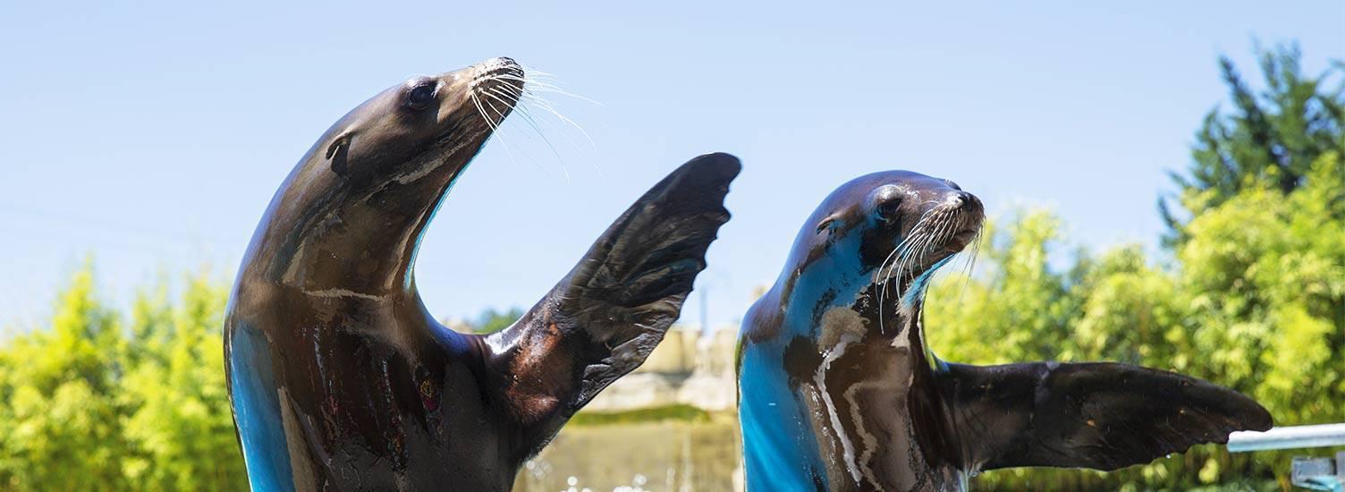 Otarie de Californie - ZooParc de Beauval