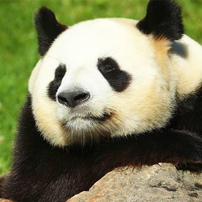 Pandas géants - ZooParc de Beauval