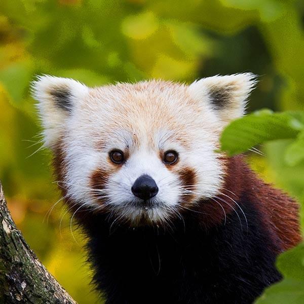 Panda roux - ZooParc de Beauval