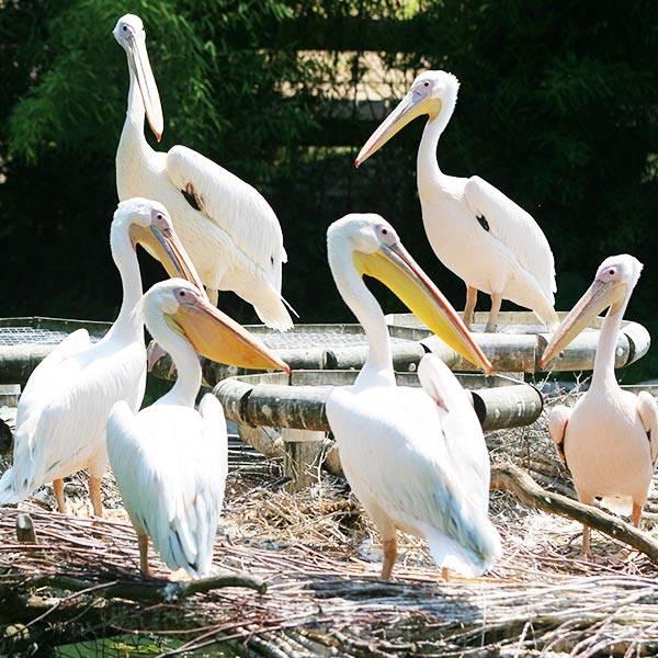 Pélican - ZooParc de Beauval