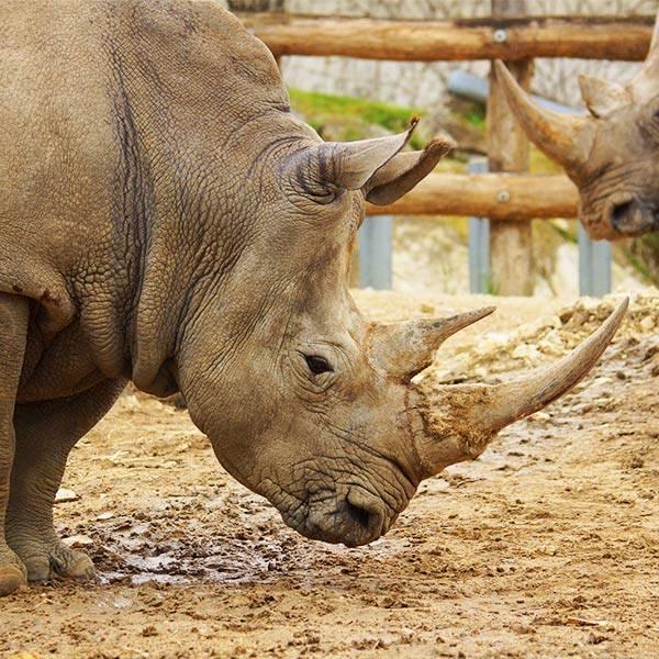 Rhinocéros blanc - ZooParc de Beauval