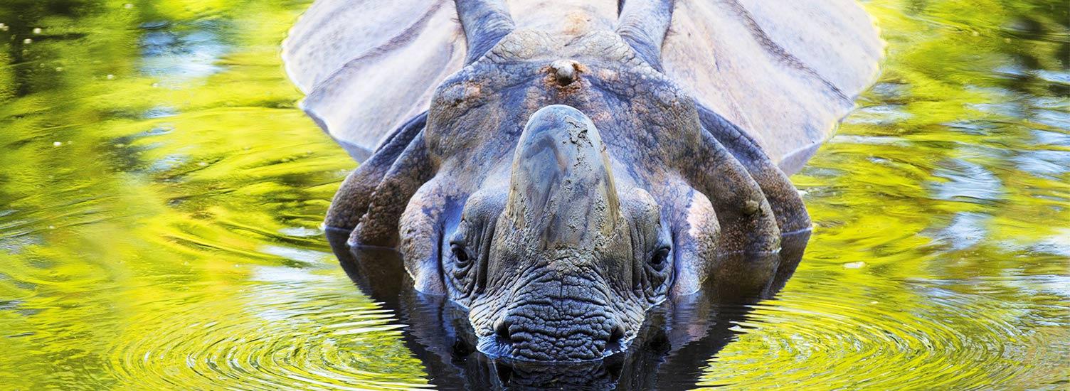 Rhinocéros indien - ZooParc de Beauval