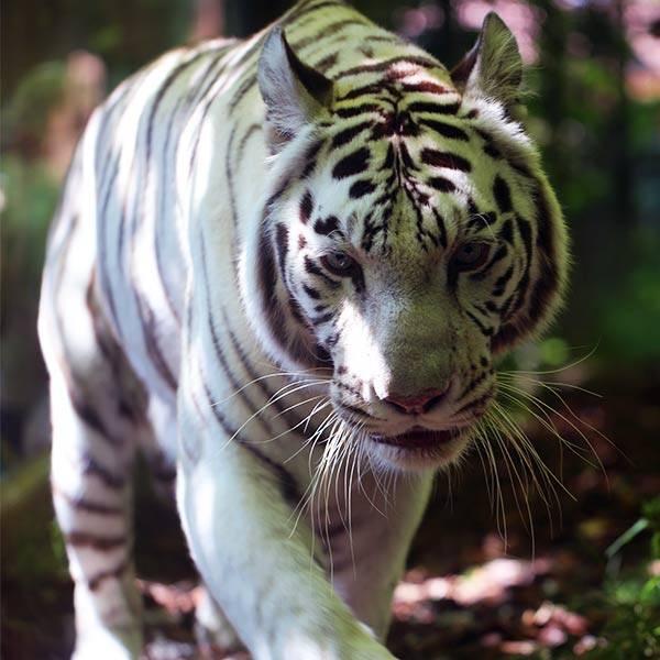 Tigre blanc - ZooParc de Beauval
