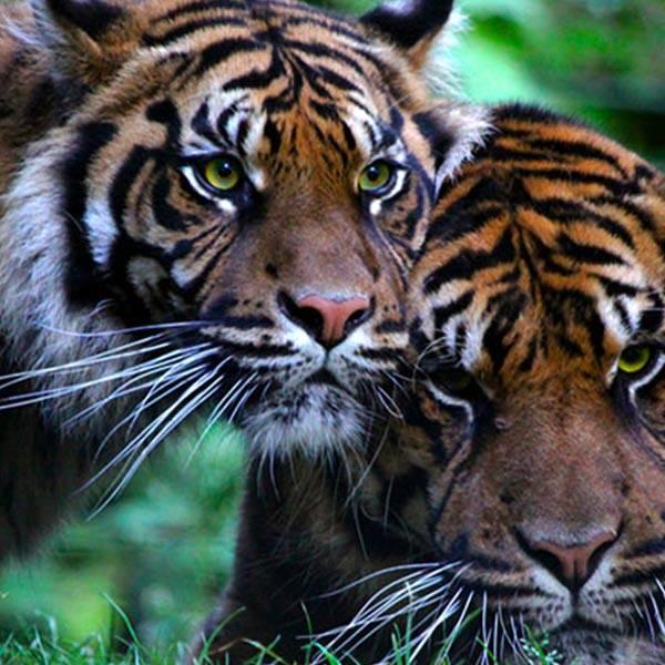Tigre de Sumatra - ZooParc de Beauval