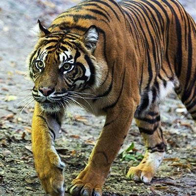 Tigres de Sumatra - ZooParc de Beauval