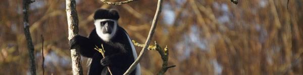 Colobes - ZooParc de Beauval