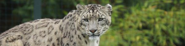 Panthère des neiges - ZooParc de Beauval