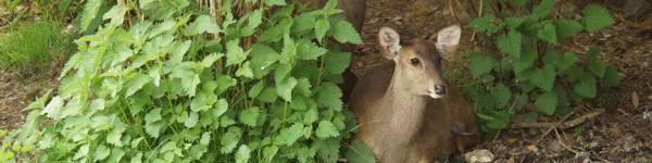 Cerfs-cochon - ZooParc de Beauval
