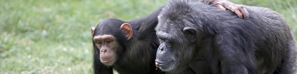 Chimpanzes - ZooParc de Beauval