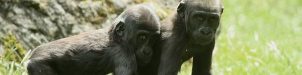 Gorilles - ZooParc de Beauval