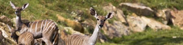 Petit Koudou - ZooParc de Beauval