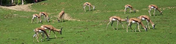 Springbok - ZooParc de Beauval