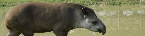 Tapir terrestre - ZooParc de Beauval